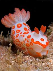 Gymnodoris rubropapulosa, or more affectionately Clown Nu... by Kristin Anderson
