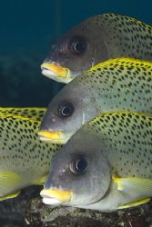 Blackspotted sweetlips. Sharks bay.