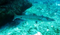 Barracuda seen at Grand Cayman this August. Photo taken w... by Bonnie Conley