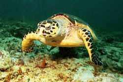 Hawksbill turtle - Taken in Puerto Adventuras Tortugas di... by Michael Salcito
