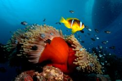Clownfish & anenome wide angle shot with boat on surface ... by Simon Pickering
