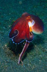 Walking Tall. Coconut Octopus. D70,105mm. Lembeh Strait by Frankie Tsen