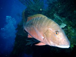 Snapper by Peter Foulds