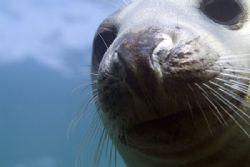 Nosey seal. North Wales. D200. by Derek Haslam