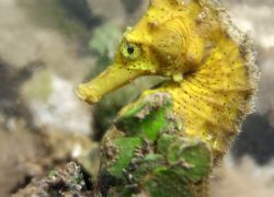 Pacific Seahorse. I was very excited to stumble upon this... by Mathew Cook