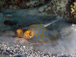 Blue spotted stingray finding its next hiding spot, taken... by Nikki Van Veelen