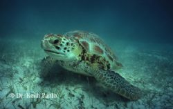 Green turtle Taken while snorkelling Nik II ,15mm, fuji, ... by Keith Partlo