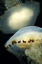 Compass Jellyfish - Trearddur bay, North Wales, UK. Niko... by Paul Maddock
