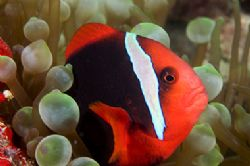 Clown fish red and black. Nikon D100 with macro 105 , two... by Marchione Giacomo
