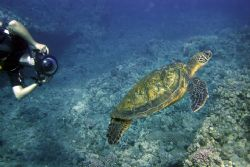 Diver and Turtle. This photo was taken in Maui, HI- about... by Mathew Cook