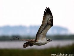 An Osprey surveying the water for it's prey. by Zaid Fadul