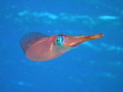 Caribbean Reef Squid. Hens & Chickens, Florida Keys by Mark Hoevenaars