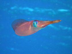 Caribbean Reef Squid. Hens & Chickens, Florida Keys by Mark Hoevenaars