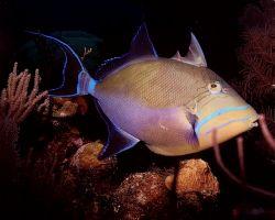 Queen Trigger off Little Cayman Nikonos 28mm lense by Marylin Batt