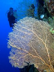 Anel with some fan corals taken at Pinkies Wall with E300. by Nikki Van Veelen