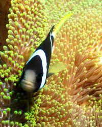 Clark's Anemonefish. Taken at Tulamben, Bali by Mohan Thanabalan