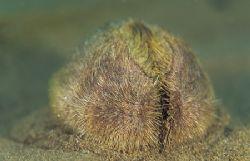Sea potato.North Wales. F50,60mm. by Derek Haslam