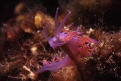 Flabellina Affinis...so small and so beautiful! No matter... by Federica Bedei