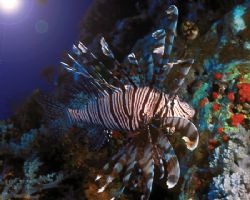 Lionfish are the coolest fish but they can literally get ... by Michael Canzoniero