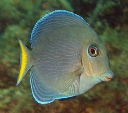 Blue Tang. This is a juvenile transitioning from all-yell... by Jim Chambers