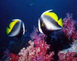 Banner Fish among Fijian Soft Coral. Taken at Matangi Is... by Marylin Batt