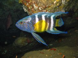 Blue Devil fish off Broughton Island. Hard fish to find, ... by Shea Pletz