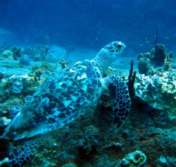 Hawksbill Buck Island St. Thomas U.S.V.I. Taken with Cann... by Candido Gonzalez-Alonso