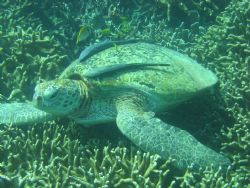 Taken In tioman, Green Turtle resting... by Elderly Wong Ming Hong