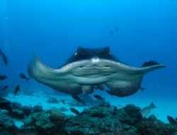 Smiling Marble Ray ~ Taken at Cocos Island ~ Was just abl... by Jeannette Howard
