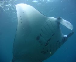 Manta Ray, Taken with Canon A95 by Katie Dann