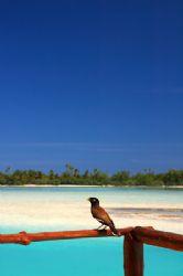 Mynah bird sitting on balcony infront of Aitutaki lagoon,... by Richard Smith