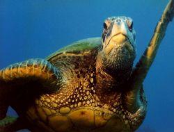 Very Friendly Green Sea Turtle off  Kauai in Hawaii. Nik... by Marylin Batt