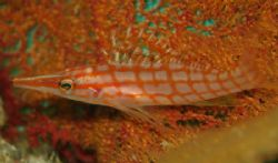 This Longnose Hawkfish was found chilling out in Cabo Pul... by Ash Pickering