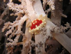 Small crab, it looks like a jewel... on a soft coral - Pi... by Sara Valla
