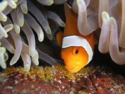Nemo ....... looking after baby nemo's ..... Anenome fish... by Brad Cox