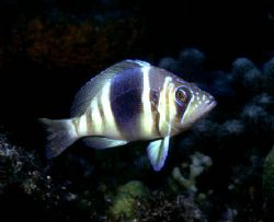 'BARRED HAMLET' From 'Fish Portrarits from Around the Wor... by Rick Tegeler