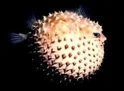 Puffer on a night dive, ps we didn't handle this fish we ... by Marylin Batt