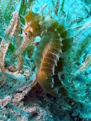 Seahorse taken at Maraana site, Nuweiba with Olympus SP350. by Anel Van Veelen