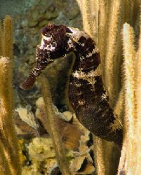 Seahorse. Roatan, Bay Islands. Fuji F810 by Jennifer Temple