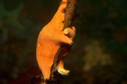 A starfish holding on for his life (to kelp) during some ... by Dallas Poore