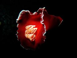 Spanish dancer whilest nightdive at Paradise reef Red Sea... by Patrick Neumann