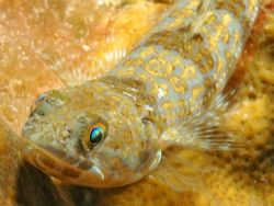 This juvenile lizardfish was only about 5 inches long. Gr... by David Heidemann