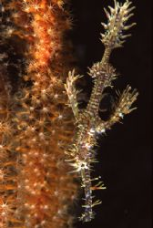 Ornate Ghost Pipefish by Richard Smith