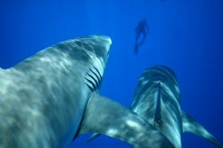 Divers Beware. This is a combonation of 2 images, created... by Mathew Cook