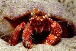 Hermit crab Taken in a tide poll at Santa Catarina State... by João Paulo Krajewski