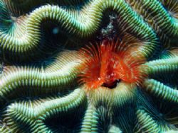 A boring tube in brain coral. by Martin Spragg