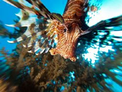 Lionfish taken by using the zooming technique at pipeline... by Nikki Van Veelen