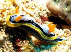 Looking sexy?? Chromodoris Annae taken at Dayang, Malaysia by Mohan Thanabalan