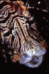 Yawning Lionfish by Richard Smith