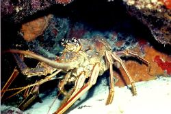 Lobster taken in Cozumel with the marine park they are pl... by Marylin Batt